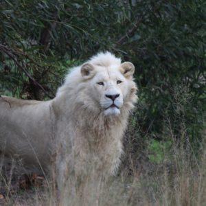 Brutus (White Lion)