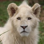 The Global White Lion Protection Trust.