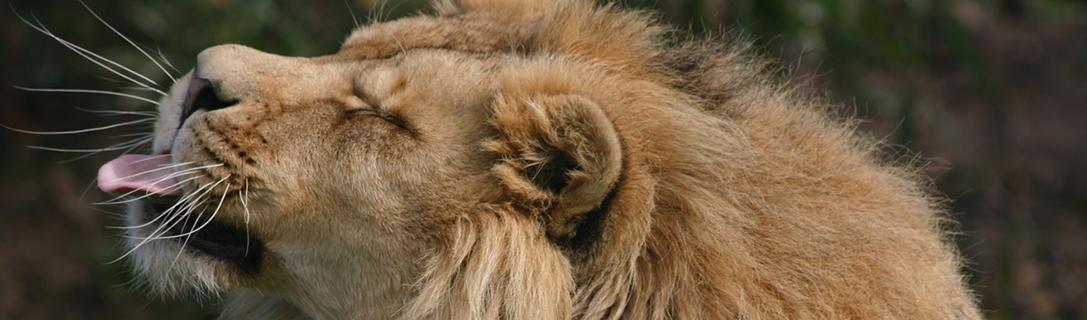 lion-tongue-out2-test