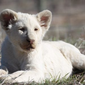 Juno – White Lion