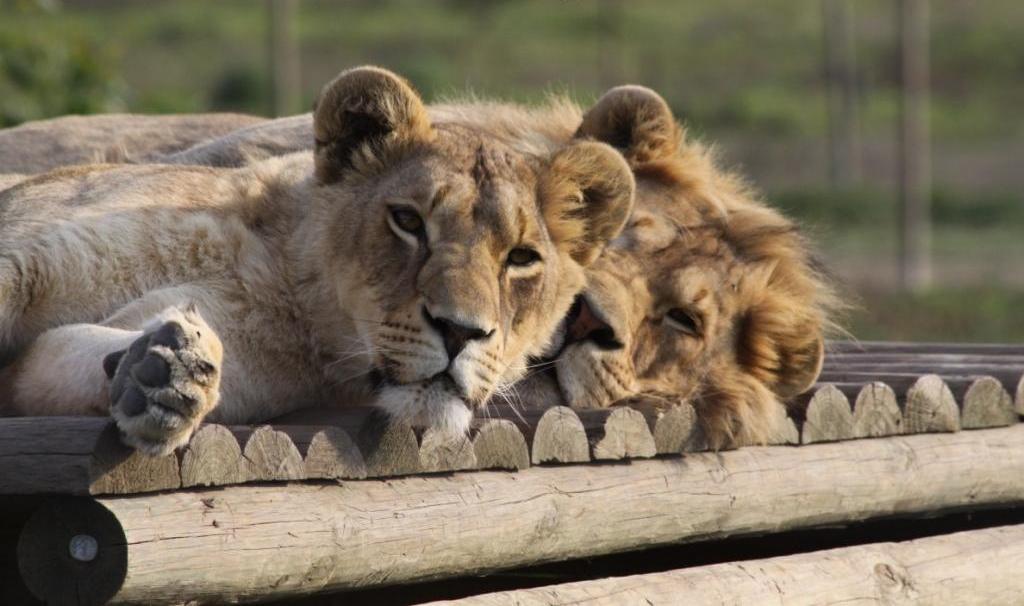About Us – Drakenstein Lion Park | Paarl