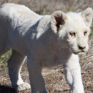 Athena – White Lion